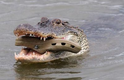 Is this cannibalism and how often do crocodiles eat their babies.