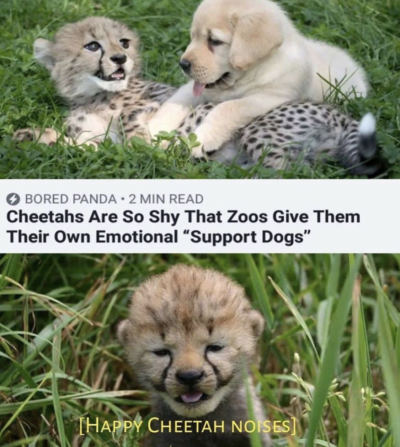 Happy cheetah noises