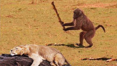I R baboon