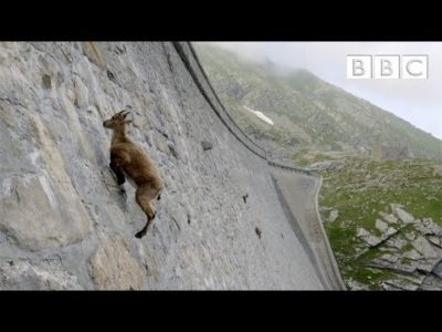 Incredible ibex defies gravity and climbs dam